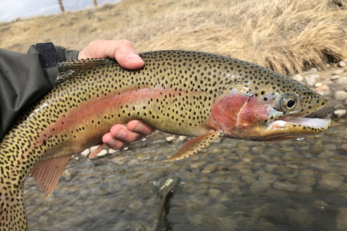 ac258ce9 Miracle Mile Fishing Report - Wyoming Anglers